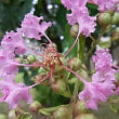 季節の花「百日紅 (さるすべり)」