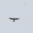 公園の上空を、サシバが飛んだ。