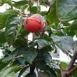 大秋柿の話し。