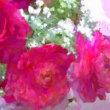 恋愛運を強めたい方に、風水では桃花位という方法があります。( 副題 花と祈りと風水 )