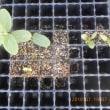 第二弾キュウリを1本 ポット上げ 追加で蒔いた種も発芽