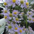 シオン菊と黄花コスモス