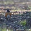 今日の鳥コレクション・・・今シーズンの初見初撮りで