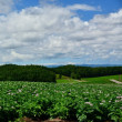 ジャガイモの花咲く風景を巡って・・・。