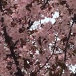 わぁ〜、桜咲いてるっ!