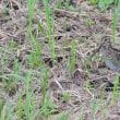 草むらから顔を出した、チュウジシギ。