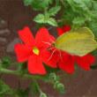 サンブリテニア・スカーレットに紋黄蝶