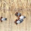 群馬県藤岡市の郊外にある農業用水池では、冬鳥のホシハジロなどが休んでいます