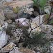 白馬八方尾根の花 9月1日 9 ミヤマウイキョウ