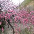 余里の花桃は五分咲き