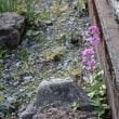 「大判草」も花盛り。