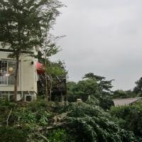 モミの木を切り倒しました!