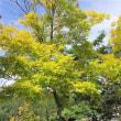 「今年、最初の黄葉の風景、白樺湖畔のアカシア」