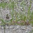 メヒシバと雀たち・その後報告