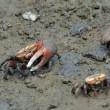 吉野川干潟の環境指標種 シオマネキ
