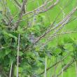 遠くの小さい木で、ごそごそ動いていたのはウグイスだった。