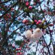 八面山  桜の蕾