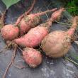 サツマイモ「安納芋」「紅はるか」の試し掘り
