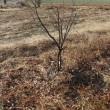 ハイブリッド果樹(貴陽、マルガリータ)