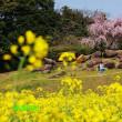 菜の花~展海峰 2018