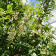 「柚子の花」