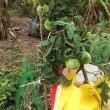 水耕栽培のトマトがたくさん実っています