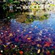 府中の森・紅梅と凍り付く池