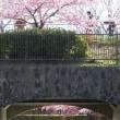 京都で一番早く咲く桜