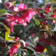 寒椿(かんつばき)とい花