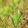 今日の野鳥    セッカ ・ カワラヒワ