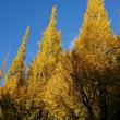 神宮外苑イチョウ並木