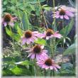 8月<10>菜園・庭ふらり散歩 2