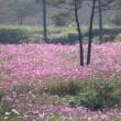 長野県佐久市の東端にある佐久荒船高原では、コスモスの花が咲き始めています
