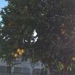 柚子の木?