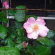 四番開花は ツルバラのブレイスオブグローリー