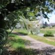 賀茂川河川敷で咲いていたシンテッポウユリ
