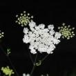 まるで精巧な白いレースのように咲くハナウドの仲間  (Photo No.14344)