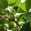 レインボーレッド(キウイ 早生種)の花が咲きました。授粉を実施します。