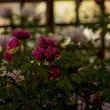 龍蔵寺の牡丹