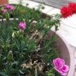 宿根草の花が咲いてきた