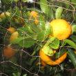 柑橘系が楽しみ!