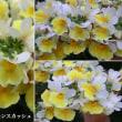 ネメシア・レモンスカッシュの花は