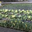 春の畑を飾るスイセン