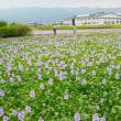 元薬師寺の布袋葵