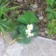 庭の花 (山椒、イチゴ)