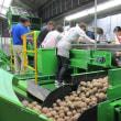 加工用馬鈴薯選別作業の安全を祈る
