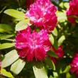 森の花の女王シャクナゲ (神宮徴古館)