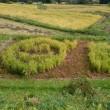 10月8日 紫アケビが田んぼの土手で熟れてました。