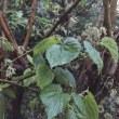 餌の豊富な季節がやってきました・桑の葉新芽