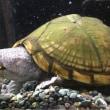 カブトニオイガメ甲長約15cm